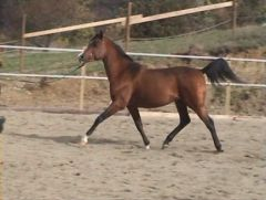 pantau unritten at 4yrs old and still stallion
