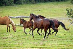 QS horses running