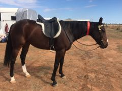 Saint Sonia 2nd Ridden Standardbred - Border Western Horse Club B Show 23/4/17